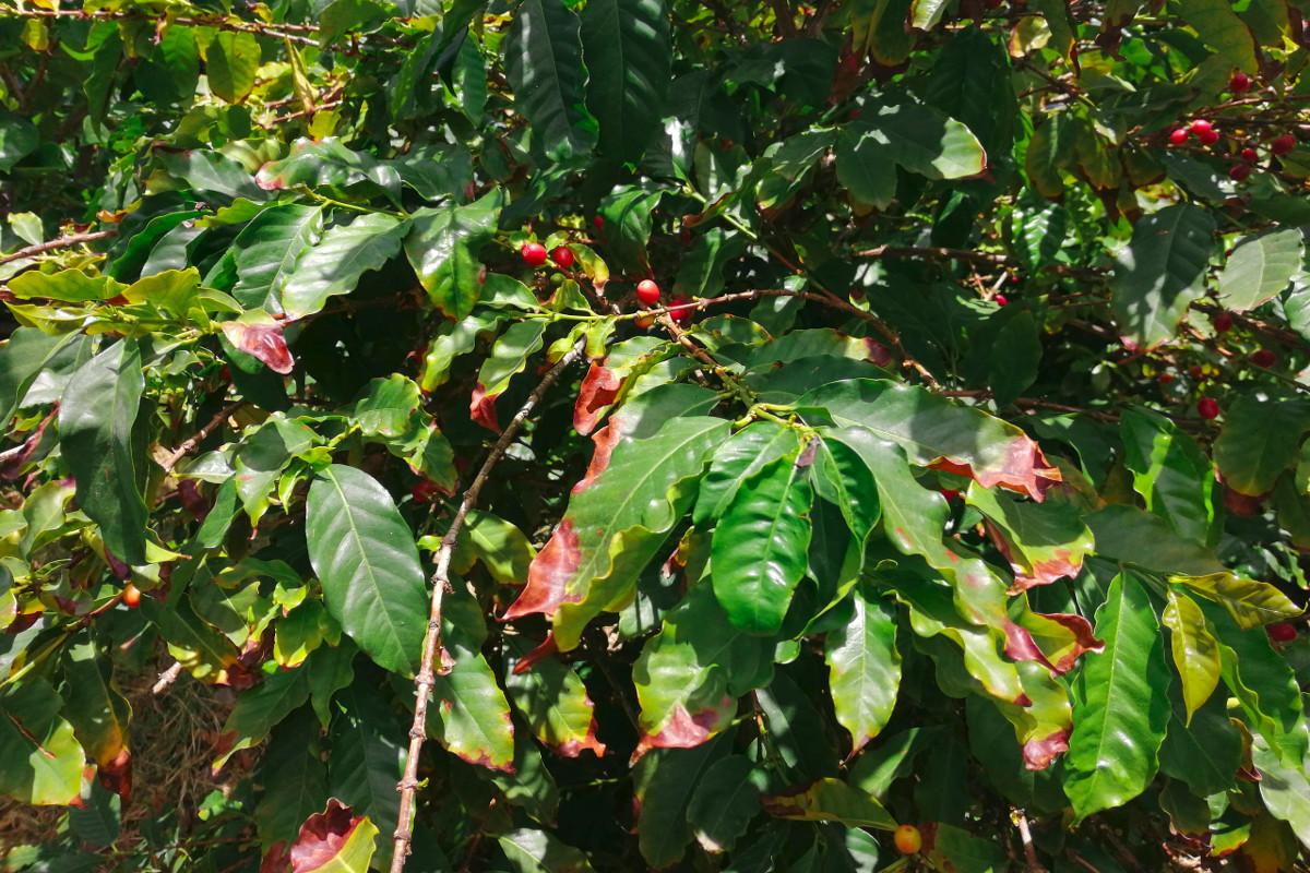 Coffee and botanical garden